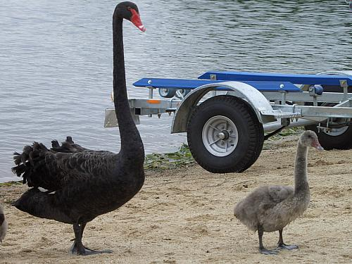 Swan and cygnet, on land, admire trailer